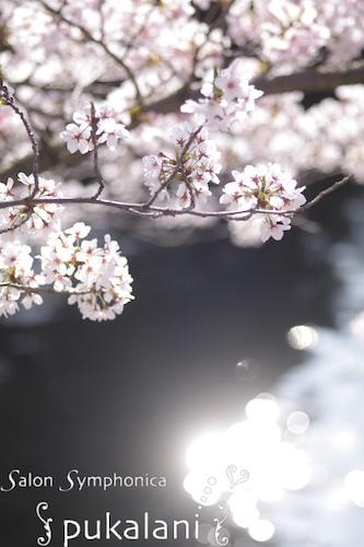 150403_sakura_02