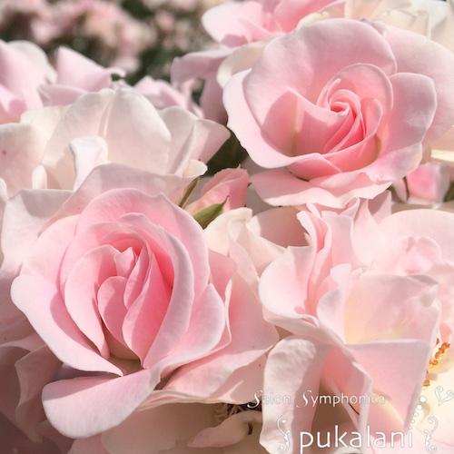 120517_rose_01