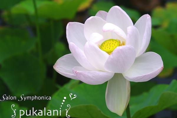 150704_lotus_04